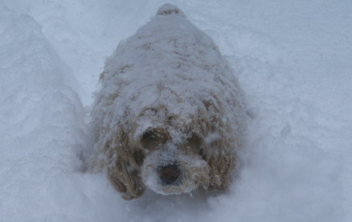 abominable snow biscuit