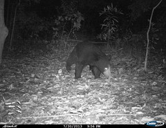 """sloth bear1 BK-7 • <a style=""""font-size:0.8em;"""" href=""""http://www.flickr.com/photos/109145777@N03/13794550865/"""" target=""""_blank"""">View on Flickr</a>"""