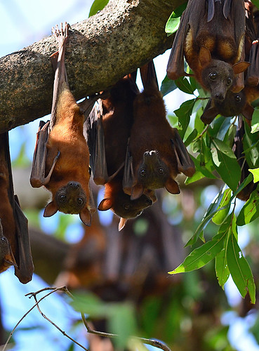 """Little Red Flying-fox • <a style=""""font-size:0.8em;"""" href=""""http://www.flickr.com/photos/95790921@N07/8865018491/"""" target=""""_blank"""">View on Flickr</a>"""