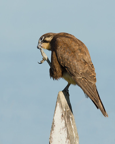 """Brown Falcon • <a style=""""font-size:0.8em;"""" href=""""http://www.flickr.com/photos/95790921@N07/9113546399/"""" target=""""_blank"""">View on Flickr</a>"""