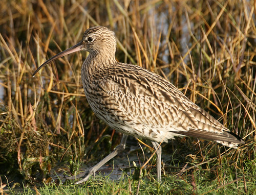 "Curlew • <a style=""font-size:0.8em;"" href=""http://www.flickr.com/photos/30837261@N07/10723169985/"" target=""_blank"">View on Flickr</a>"