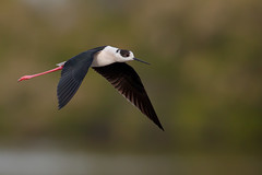 Black-winged Stilt | styltlöpare | Himantopus himantopus