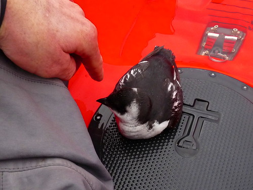 """Little Auk, Carrick Roads, 30.01.14 (R.Kirkwood) • <a style=""""font-size:0.8em;"""" href=""""http://www.flickr.com/photos/30837261@N07/12233352834/"""" target=""""_blank"""">View on Flickr</a>"""