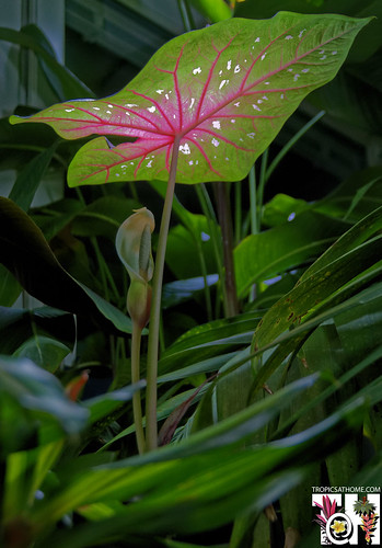 Caladium flowering