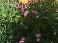 Rose Moonblush