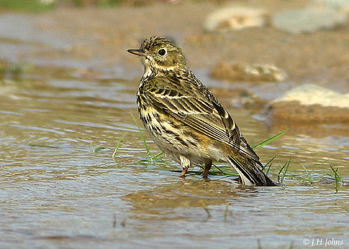 "Meadow Pipit (J H Johns) • <a style=""font-size:0.8em;"" href=""http://www.flickr.com/photos/30837261@N07/10723253643/"" target=""_blank"">View on Flickr</a>"