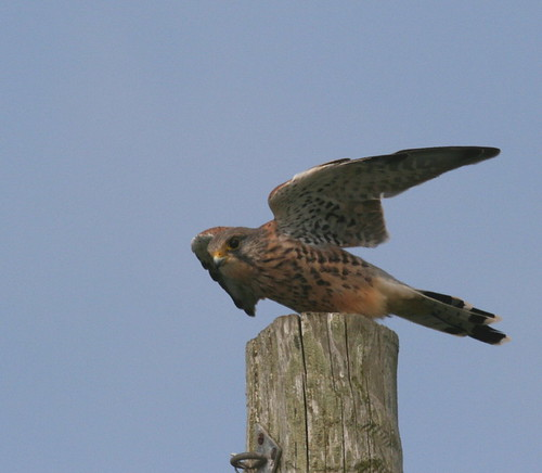 "Kestrel on post • <a style=""font-size:0.8em;"" href=""http://www.flickr.com/photos/30837261@N07/10722421285/"" target=""_blank"">View on Flickr</a>"