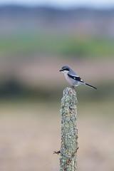 Iberian Grey Shrike | iberisk varfågel  | Lanius meridionalis
