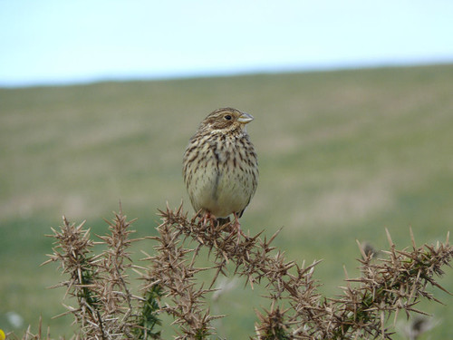 "Corn Bunting, (J H Johns) • <a style=""font-size:0.8em;"" href=""http://www.flickr.com/photos/30837261@N07/10722821774/"" target=""_blank"">View on Flickr</a>"
