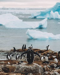 For our first landing we stopped at a Gentoo penguin colony. Since it was the end of summer the penguins were molting. Their old, used feathers were being pushed out by fresh, new ones. It didn't look like a very pleasant experience for them. #theworldwal