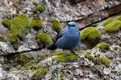 Blue Rock Thrush | blåtrast | Monticola solitarius