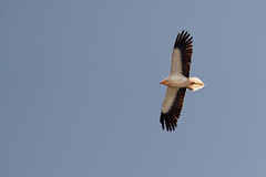 Egyptian Vulture   smutsgam   Neophron percnopterus
