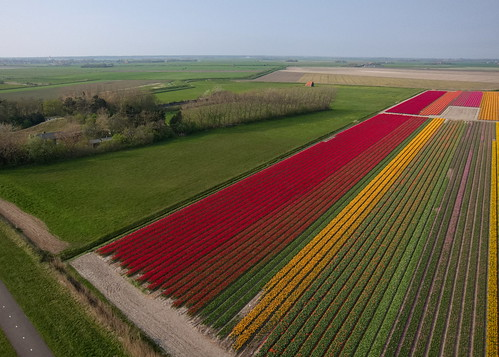 Tulip fields on Texel