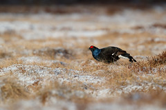 Black Grouse | orre | Lyrurus tetrix