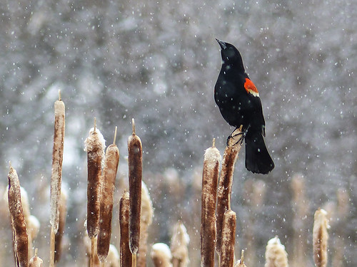 canada bird nature birds spring seasons bokeh explore cattails alberta snowing backroads slough ornithology avian redwingedblackbird agelaiusphoeniceus icteridae agelaius passerine beautyinnature interestingness99 annkelliott anneelliott explore2014may02 justsofcalgary perchedoncattail