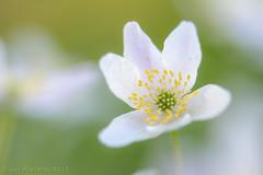 Bosannemoon (Anemone nemorosa)