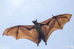 Flying fox - vliegende hond 15-02-17(1)