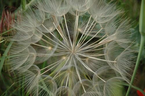 glorious seedhead