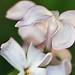 pretty pink lilacs