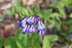 Billy Goat Trail - Purple and Blue Wildflowers