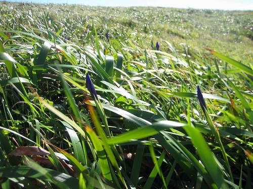 Field of Purple Buds
