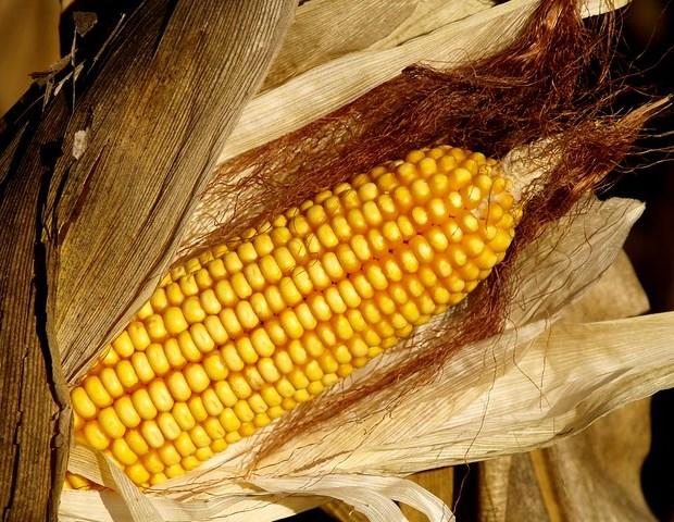 Panís - Maíz - Maize (Zea mays)