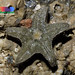 Crown sea star (Asterina coronata)