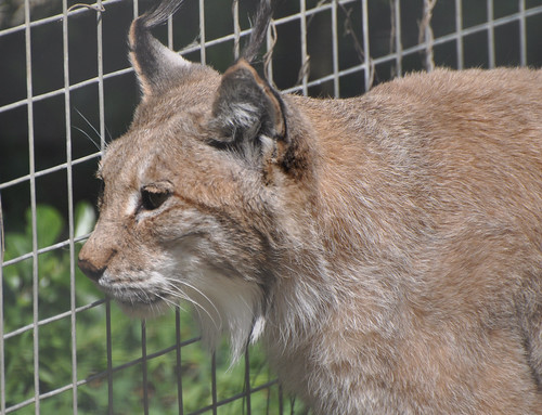 Lynx close