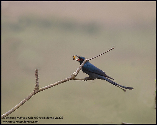 Black Drongo with a catch