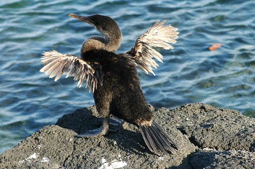 Flightless Cormorant - Galápagos Islands
