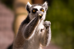 Lemur Boxing