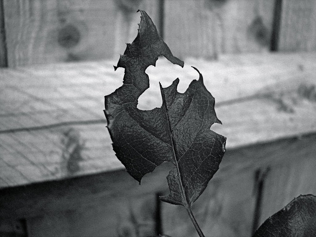 Burnt Leaf: BW