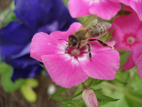 Bee on a flower! Creative Commons License