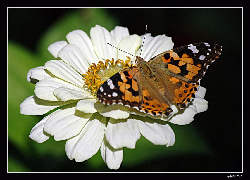 Butterfly flower on