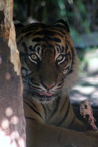 Tiger eats his chop!