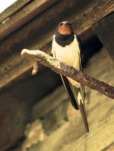 swallow@Middleton by Lynngerald