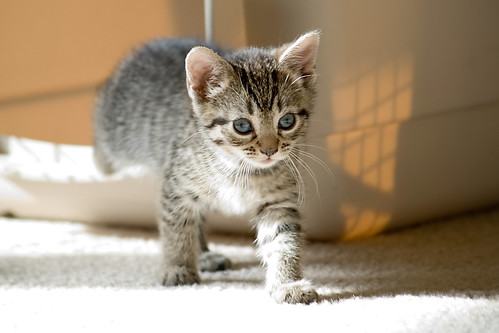 Image result for What to consider before bringing home a kitten