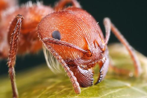 harvester ant close up by Mundo Poco