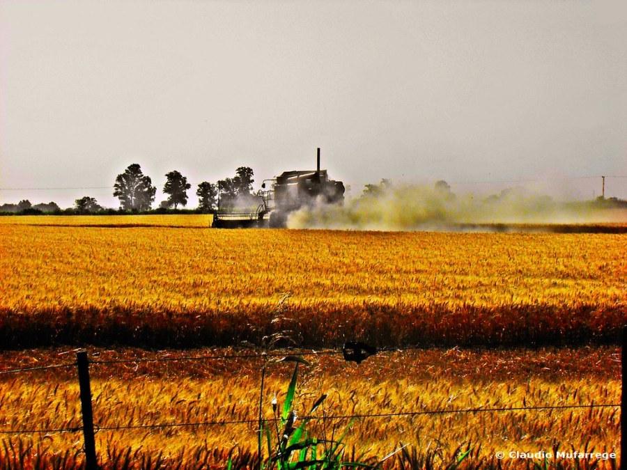 Cosechando trigo / Harvesting wheat 002