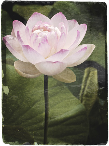 Lotus, antiqued