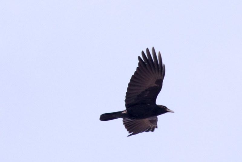 _DSC6399 American Crow