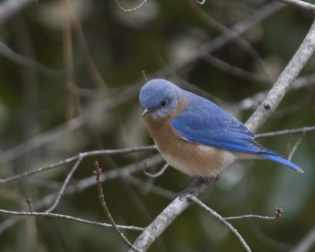 Angry Bluebird
