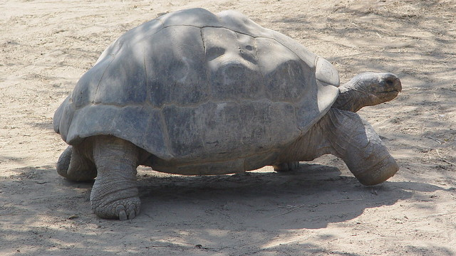 racing turtle