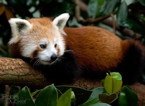 Red Panda by Robin Ducker