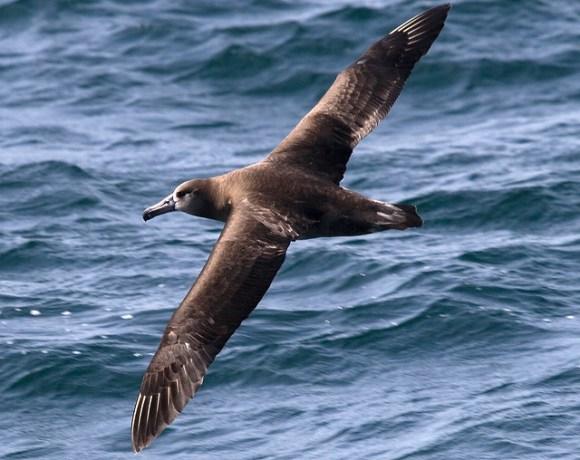 Black-footed Albatross (Phoebastria nigripes)