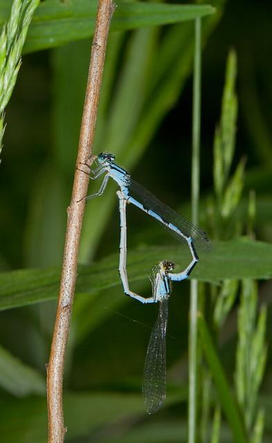 Mating Damsels