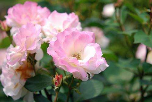 rose : Matilda : マチルダ