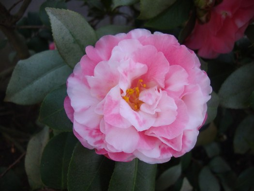Marie Bracey Var., Camellia Japonica