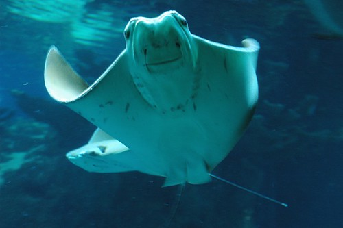 Sting Ray by darcyh