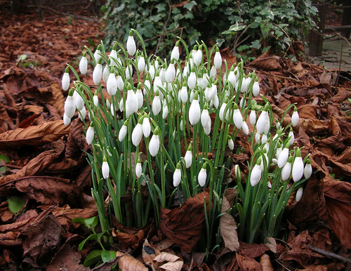 Snowdrops by Malcolm R Bell